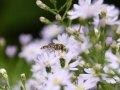 Schwebfliege Myrtenaster