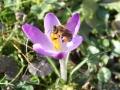 Biene auf Wildkrokus