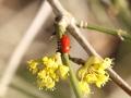 Lilienhähnchen