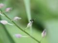 Käferchen auf Vergissmeinnicht