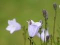 Rundblättrige Glockenblume und Wildbiene
