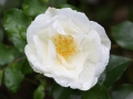 Rose Schneeflocke