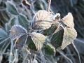 Frostiges Brombeerblatt