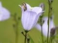 Rundblättrige Glockenblume mit Wildbiene