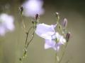 Rundblättrige Glockenblume