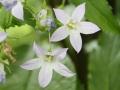 Waldglockenblume