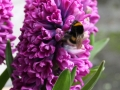 Erdhummel auf Hyacinthe