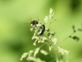 Käfer auf Grashalm