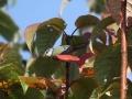 Blaumeise in Traubenkirsche