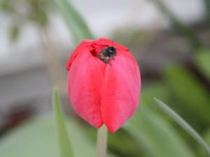 Wildbienen in einer Tulpe