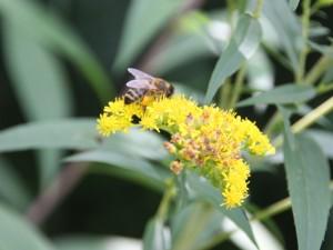 Biene in echter Goldrute