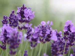 Lavendel-nah