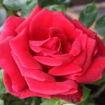 Rose_nah_1000