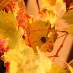 Baumwanze auf Weinblatt
