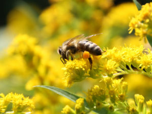 Biene in Goldrute