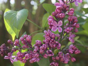 Flieder in Blüte