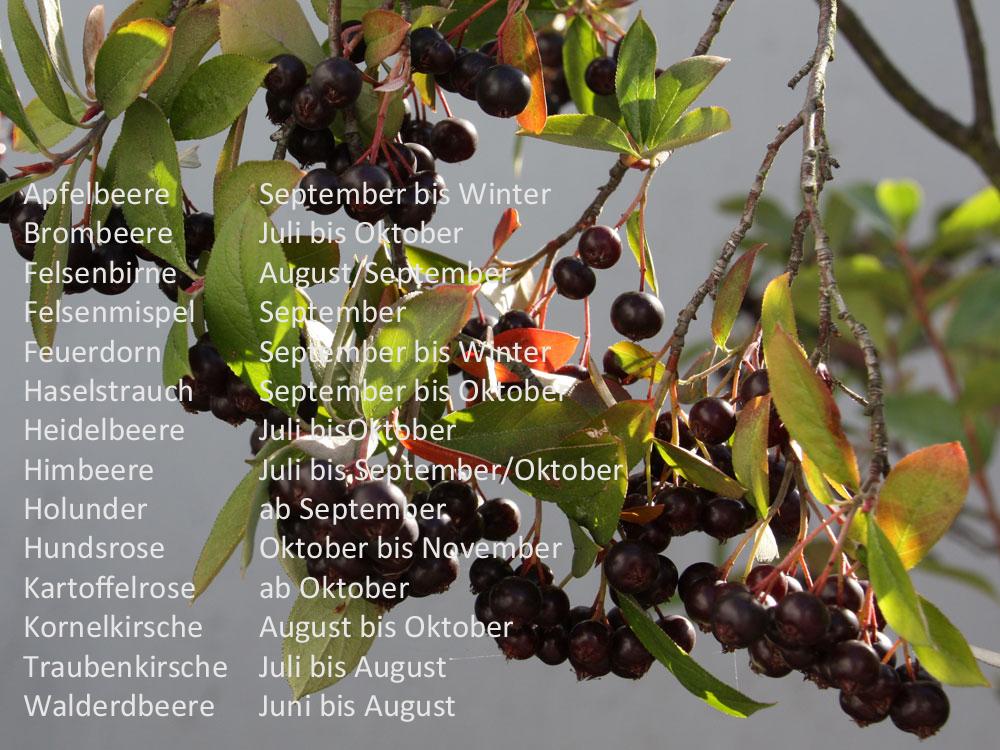 Fruchtkalender für Vögel