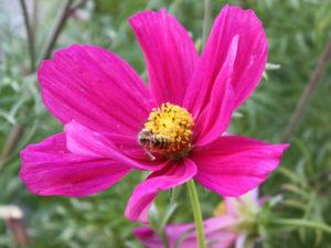 Gemeine Wespe auf Cosmea