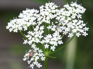 Käfer auf Gierschblüte