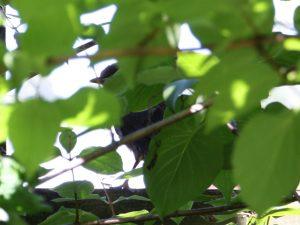 Junge Amsel im Gebüsch