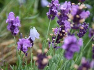 Lavendel und rundblättrige Glockenblume