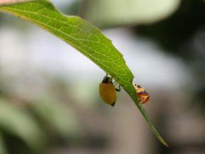 Frisch geschlüpfter Marienkäfer