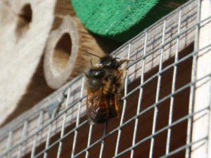 Mauerbienen-Pärchen am Insektenhotel