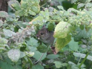 Maus in Melisse
