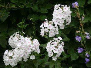 Phlox und Glockenblume