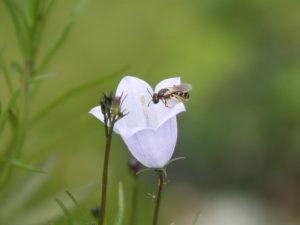 Winzige Wildbiene auf Rundblättriger Glockenblume