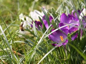Frühlingswiese: Schneeglöckchen mit Biene und Krokusse