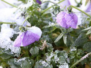 Stiefmuetterchen Frost
