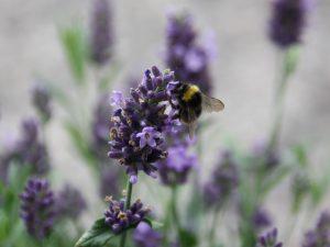 Wiesenhummel auf Lavendel