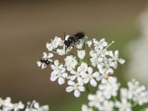 Ameise und Wildbiene