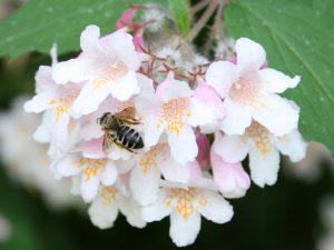 Wildbiene in Kolkwitzie