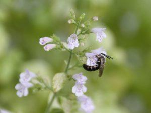 Wildbiene auf Steinquendel